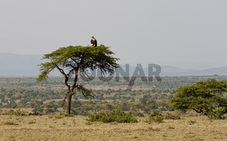 Vulture on an umbrella acacia tree