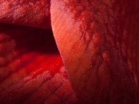 Close up of an Amaryllis