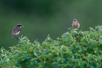 Male Whinchat on a tree