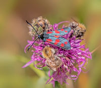 Six-spot burnet 'Zygaena filipendulae' and Carder-bee  'Bombus pascuorum'