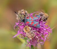Six-spot burnet 'Zygaena filipendulae' and Carder-bee  'Bombus pascuorum'