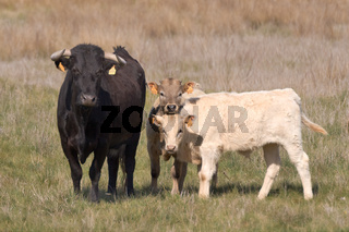 Bull with calfs