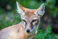 Korsak or steppe Fox a predatory mammal