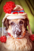 Funny portrait of big dog in hat