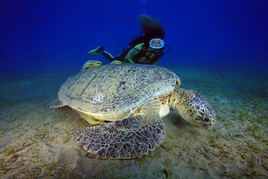 Scuba diver and green sea turtle