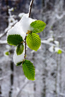 Hornbeam leaves covered with fresh snow in spring