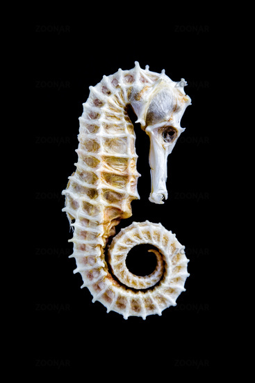 Dried seahorse skeleton on a black background