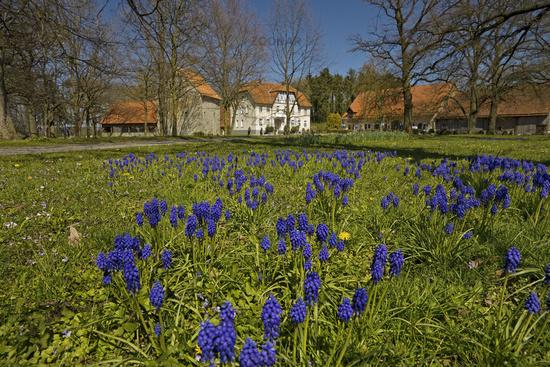 Grape hyacinths (Muscari) at Gut Redingerhof in spring, Bad Lippspringe, Germany, Europe