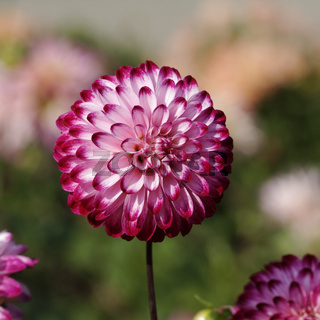 Dahlia 'Little Robert', Pompon-Dahlie