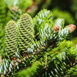 A branch of Korean fir with young cones in spring garden