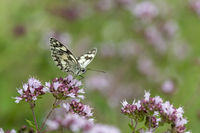 black white butterfly checkerboard sitting on a marjoram blossom against a green background with cop