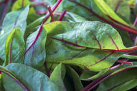 Close-up of small leaves with red stems of leafy chard
