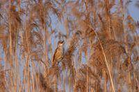 Great reed warbler, Acrocephalus arundinaceus.