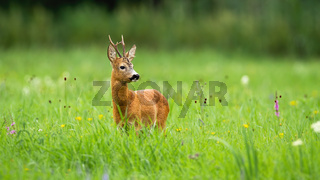 Roe deer buck standing on a green meadow and looking aside in summer nature