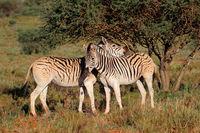 Two plains zebras (Equus burchelli) in natural habitat