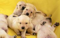 Young yellow labrador puppies