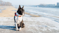 Boston Terrier puppy sitting in the winter scenery