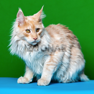 Beautiful red tabby Maine Coon Cat sitting on green and light blue background