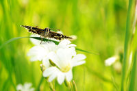 grizzled skipper on white flower II
