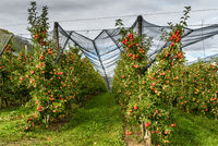 Apple orchard with red, ripe apples