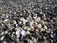 Shell beach on the Baltic Sea