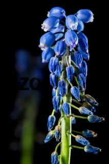 Muscari dolichanthum vertical Traubenhyazinthe