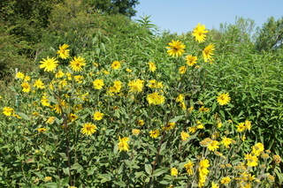 Helianthus grosseserratus, Grosszaehnige Sonnenblume, sawtooth sunflower