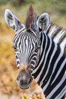 Plains Zebra. Etosha NP, Namibia