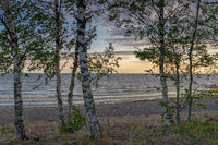 Many birch trees on the Baltic Sea with a sandy beach and gentle waves behind at sunset