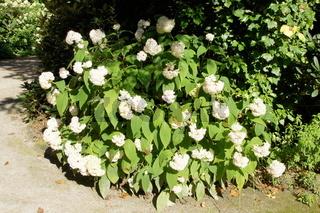 Hydrangea involucrata Sterilis, Huellblatt Hortensie