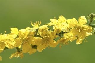 Blüte des Odermennig, Heilpflanze, Agrimonia eupat