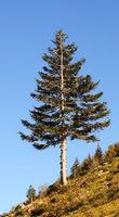 Chiemsee Kampenwand Nadelbaum
