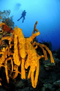 Aplysina sp., gelber Seilschwamm, karibisches Korallenriff und Taucher