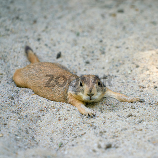 Schwarzschwanz Präriehund (Cynomys ludovicianus) liegt im Sand