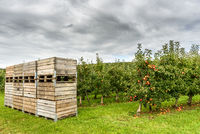 Apple orchard at Lake Constance