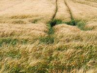 Long  yellow filds of barley before harvest, Vysocina, Czech Republic
