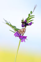 grizzled skipper on Common Vetch IV