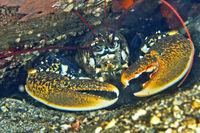 European Lobster, Cabo Cope Puntas del Calnegre Natural Park, Spain