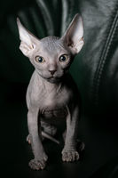Sphynx kitten upright. Beautiful bald cat on a dark background. An unusual animal of a rare breed.