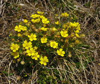 spring cinquefoil; spotted cinquefoil;