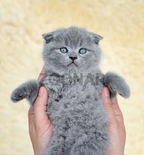 Little gray kitten in hand