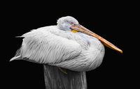White pelican resting