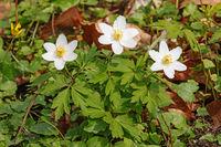 Blüten und Blätter des Buschwindröschens