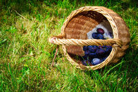 fresh plum in basket grass