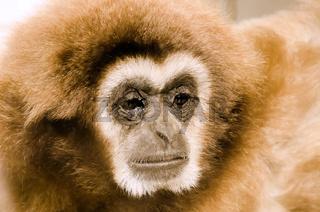 the gibbon