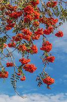 Die gefiederten Blätter und orangenen Früchte der Vogelbeere