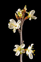 Detail shot of a branch of the plum tree with flowers, buds and leaves isolated on black