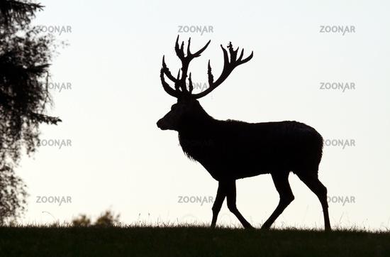 Red deer in backlight (Cervus elaphus)