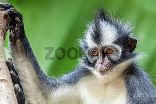 Thomas's leaf monkey