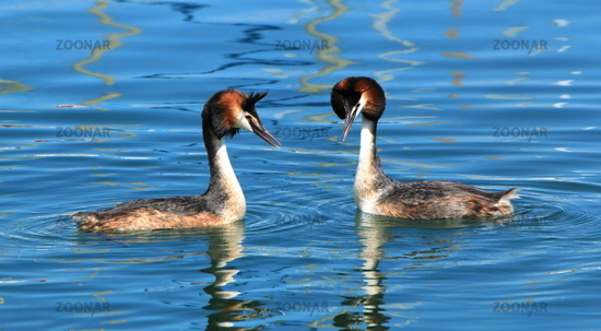 Couple of two great crested grebe in front of each